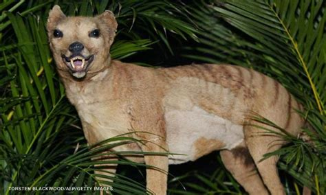 People are reporting sightings of the Tasmanian tiger